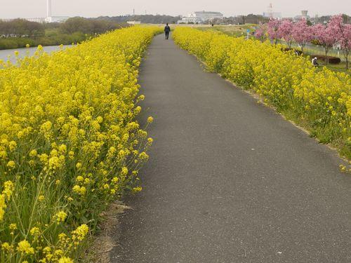 江戸川 菜の花咲き乱れスポット