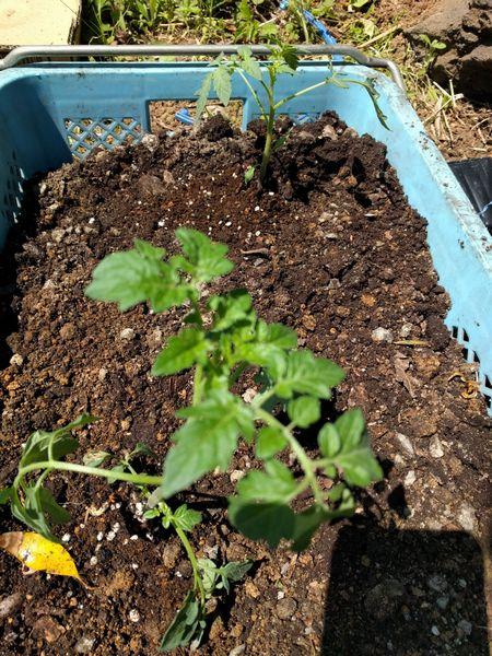 ハレイチ農園 ミニトマト ミニキャロル