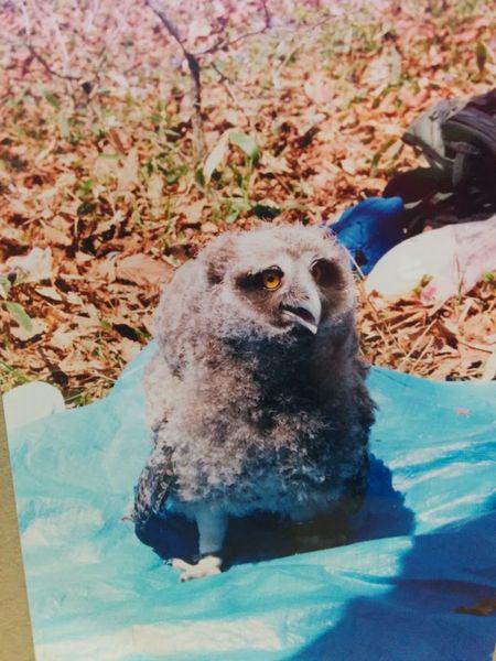 シマフクロウの赤ちゃんの写真が出てきた