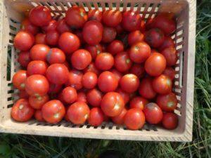トマトの収穫手伝い